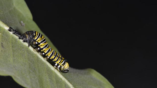 (6 of 11) Fourth Instar Caterpillar Molting