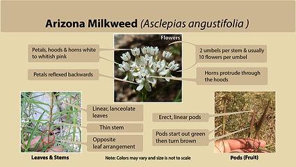 Arizona milkweed (Asclepias angustifolia)