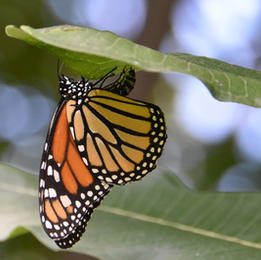Female Monarch Laying Eggs on Commom Milkweed