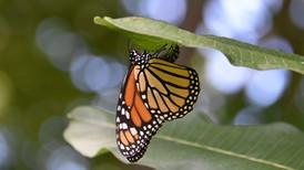 Female Laying Egg on Milkweed