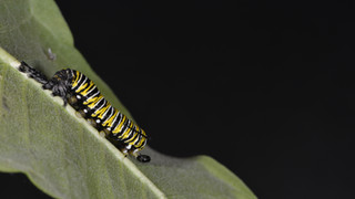 (6 of 10) Fourth Instar Caterpillar Molting