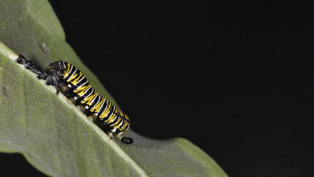 (7 of 11) Fourth Instar Caterpillar Molting