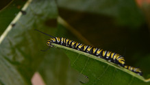 Fifth Instar with Long Antennae