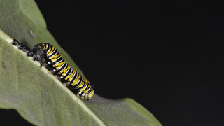 (7 of 10) Fourth Instar Caterpillar Molting