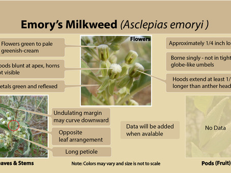 Emory's milkweed (Asclepias emoryi) is our latest milkweed species field guide slide.