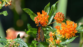 Female Monarch Nectaring on Butterfly Weed