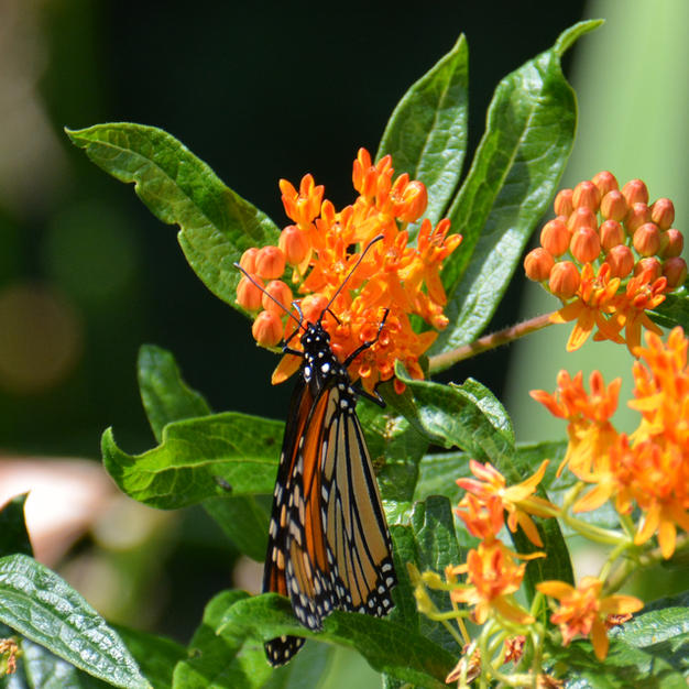 Monarch Nectaring on Butterfly Weed
