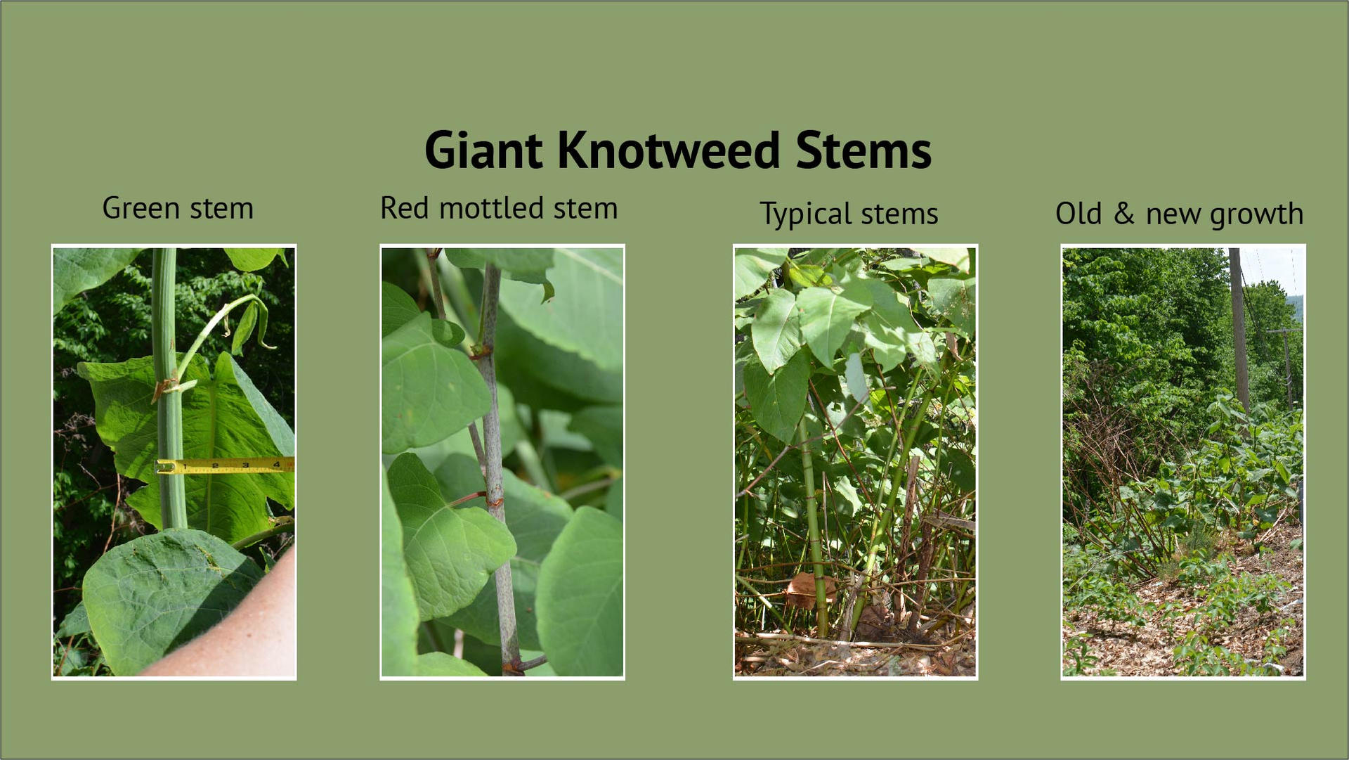 Giant Knotweed Stems
