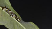 (3 of 11) Fourth Instar Caterpillar Molting