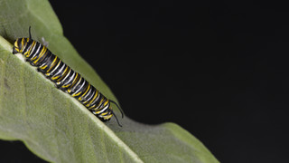 (3 of 10) Fourth Instar Caterpillar Molting