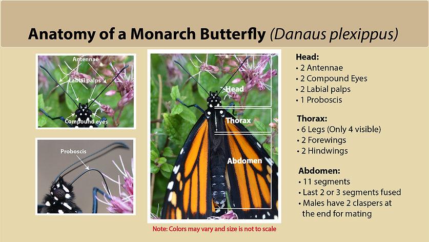 Monarch Butterfly Anatomy slide