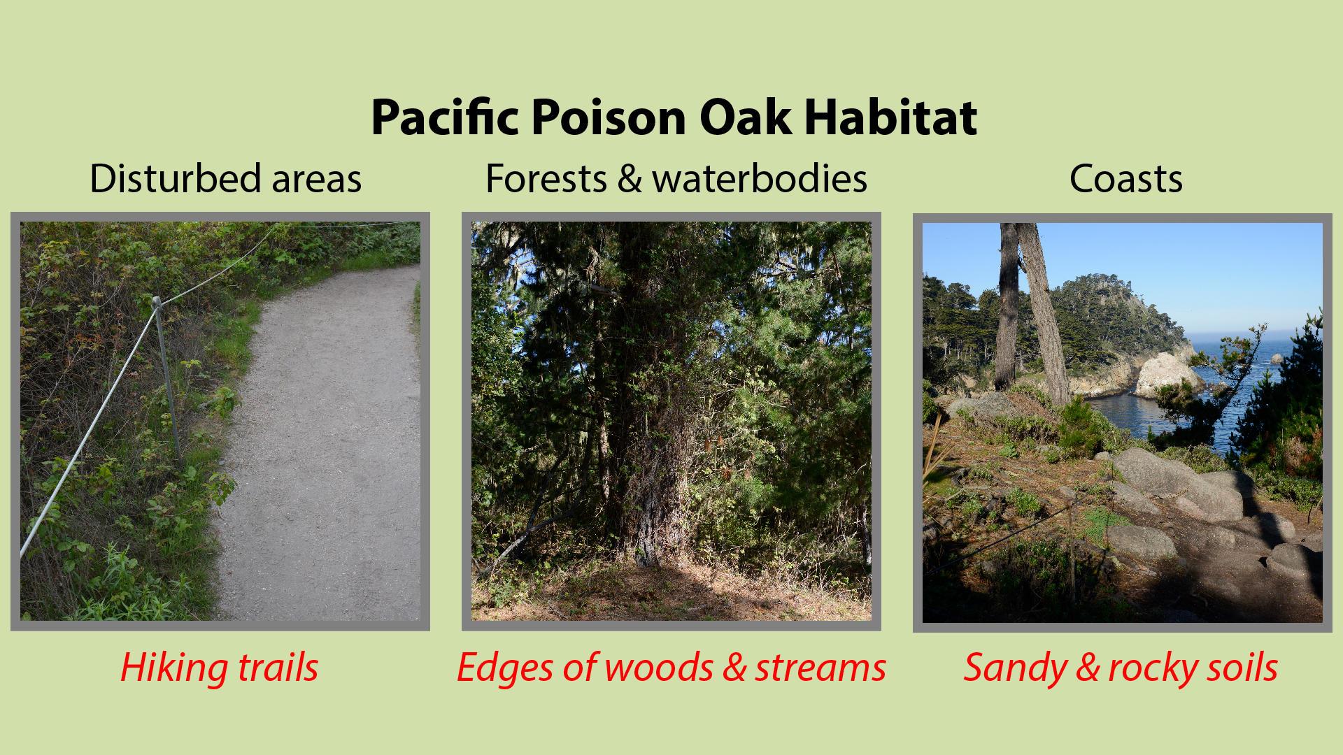 Pacific Poison Oak Habitat