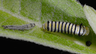 Second Instar Recently Molted