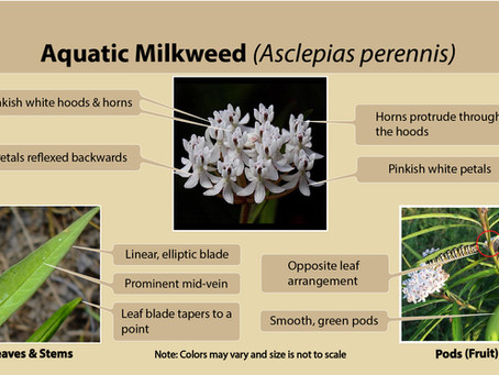 Aquatic milkweed (Asclepias perennis) is our milkweed species of the week