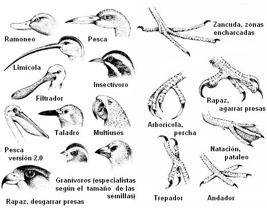 Tipos de picos. Aves