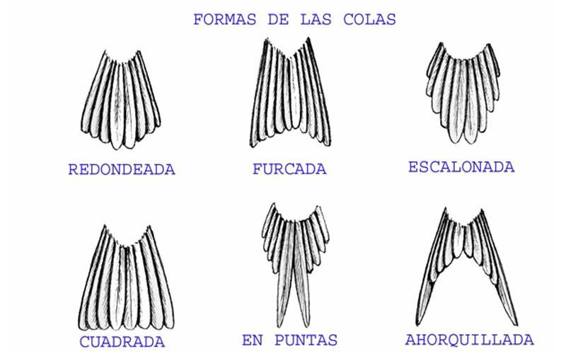 Tipos de cola de aves