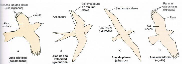 Tipos de alas de aves de México