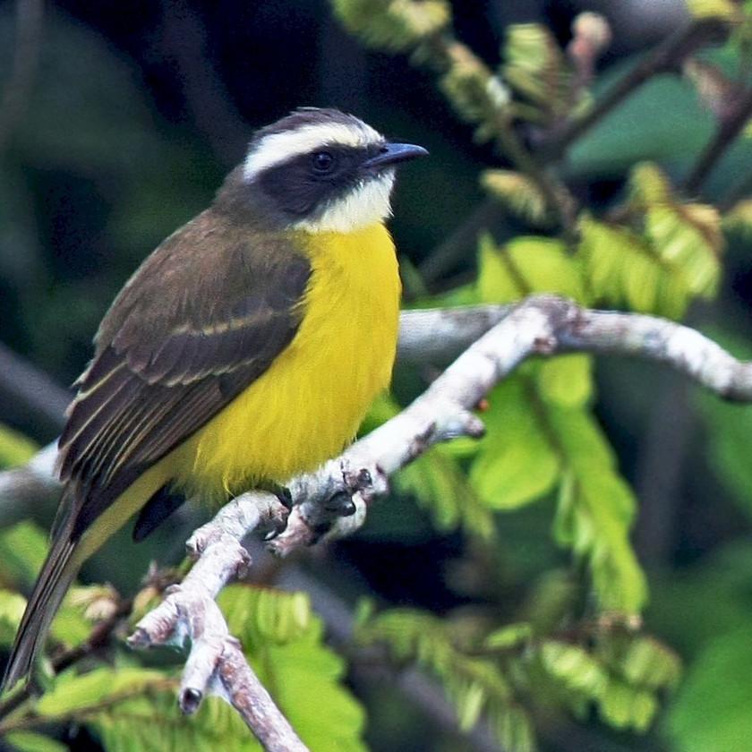 Luisito común. Avistamiento de aves en Quintana Roo, México.