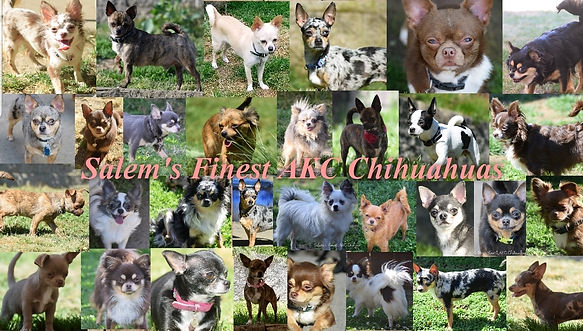 Our ladies | Salem's Finest AKC Chihuahuas | United States