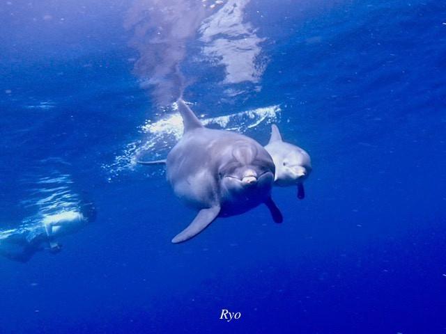 御蔵島イルカの親子