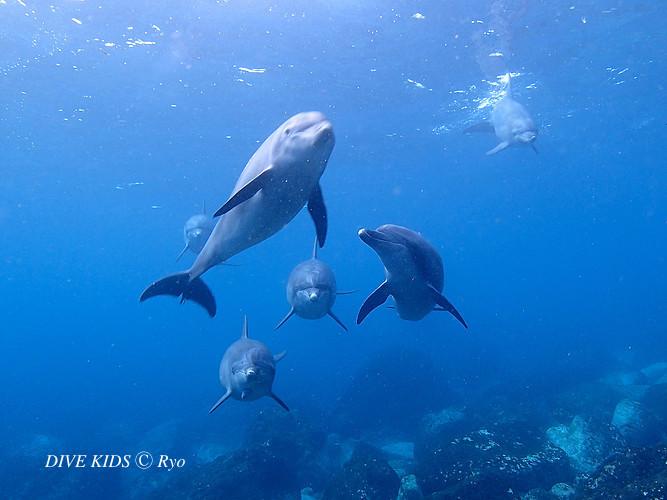 御蔵島イルカ