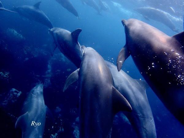 御蔵島イルカの群れ