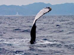 久米島ザトウクジラ