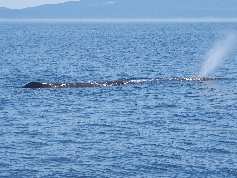 知床羅臼マッコウクジラ