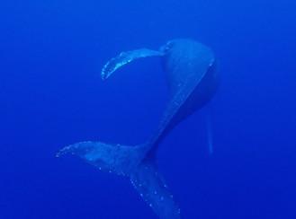 2019.2/25-29 久米島ザトウクジラツアー
