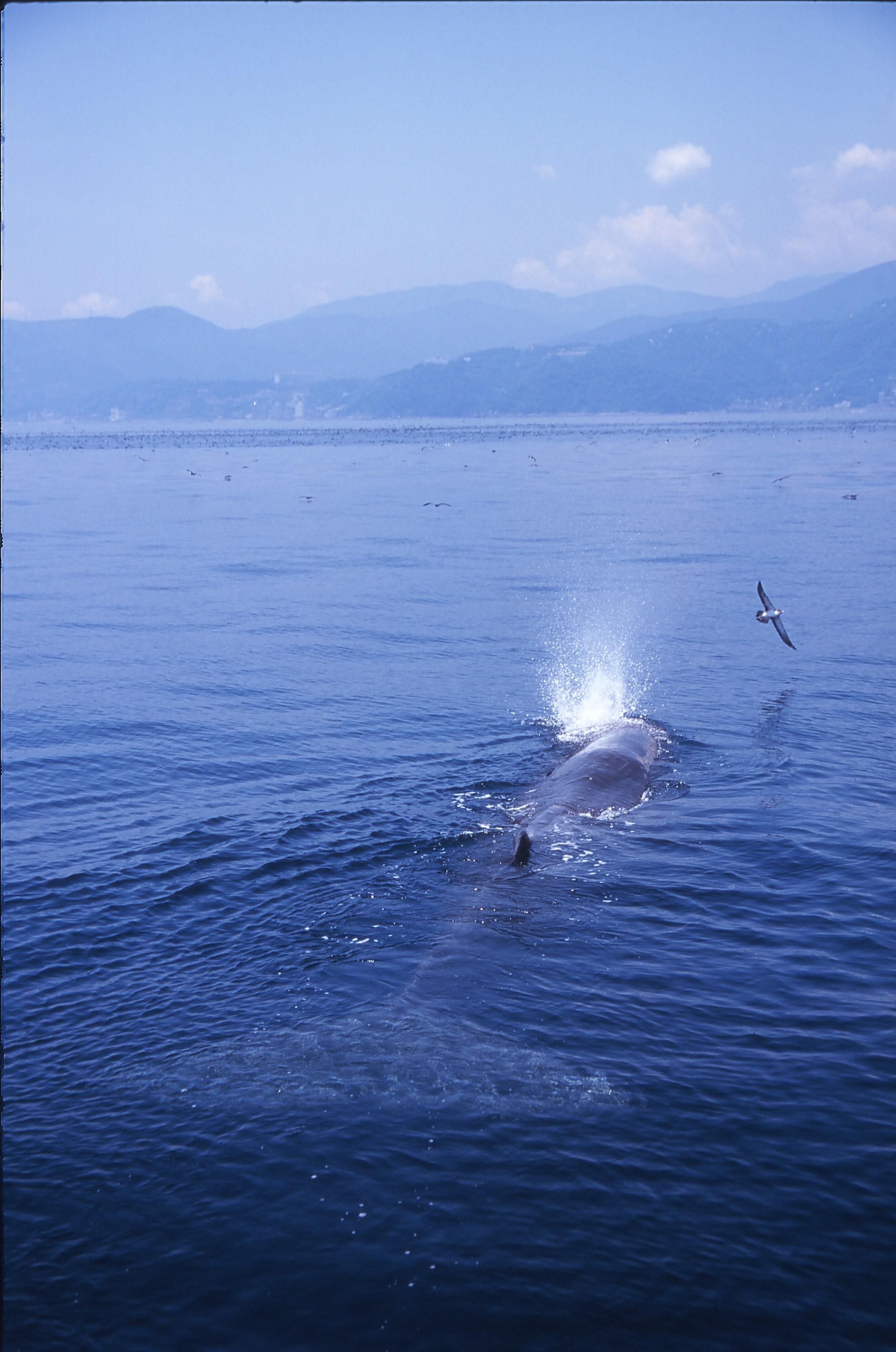 運が良ければマッコウクジラにも出逢えます!