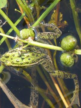 Leopard Frog.