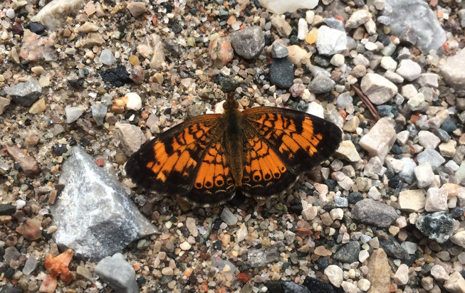 Pearl Crescent Butterfly.