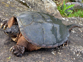 Snapping Turtle.