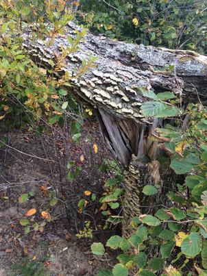 furry bracket fungus