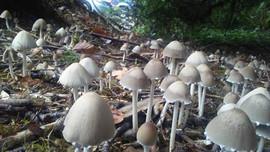 Haymaker Mushrooms.