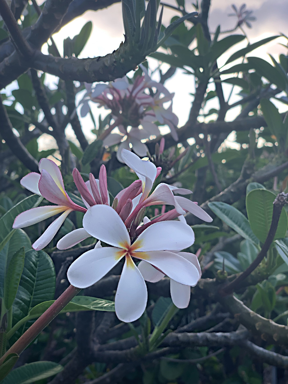 These beautiful plumeria's are resistant against the harsh conditions of Hawaii like the strong winds over by Waikoloa