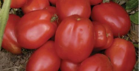 Paste Tomato