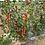 Thumbnail: Cherry Tomatoes