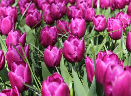 Nizozemské květinové šílenství: Když se v tulipánech točí miliony