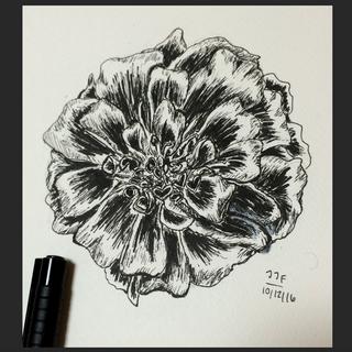 Marigold illustration. Ink. (マリーゴールドのイラスト インク)