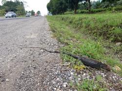 20170602_dead_iguana_on_the_IAH (3)