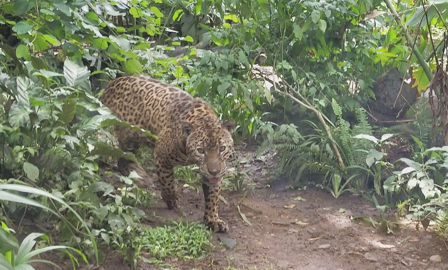 Jaguar Stalks Me at Parque Zoologico Bolivar in San Jose, Costa Rica