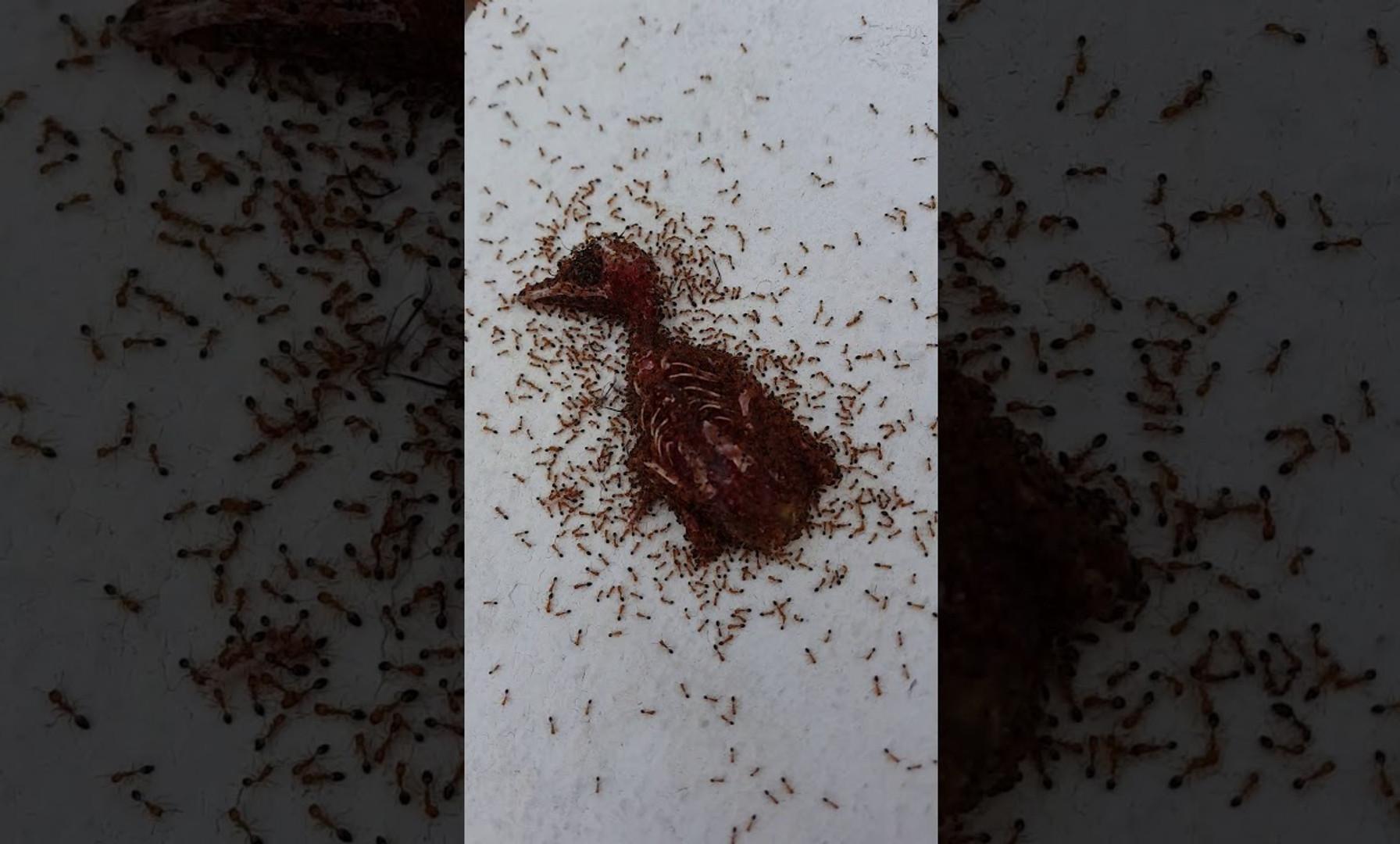 Ants Eating a Bird at the Old French Embassy; Panama City, Panama