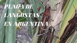 PLAGA DE LANGOSTAS EN ARGENTINA CAMINO A BRASIL