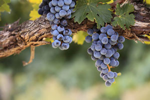 The Vine and the Branches: The Call to Communion