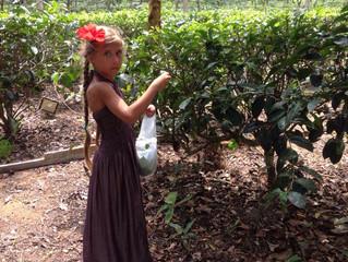 Чайная плантация. Часть 2я. Шри-Ланка
