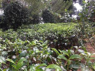 Чайная плантация. Часть 1. Шри-Ланка
