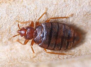 bedbug_image.jpg