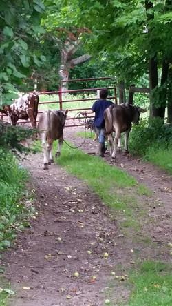 springfield cows