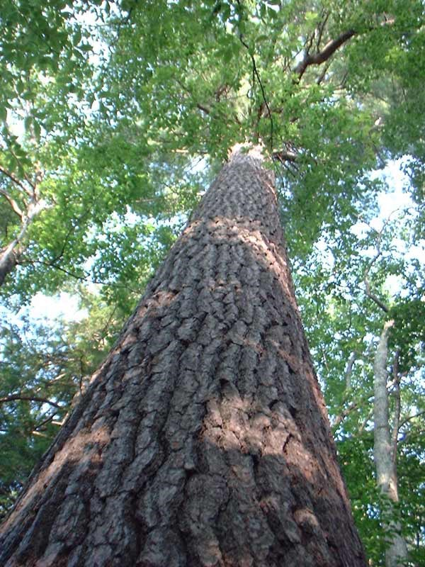 Bradford white pine